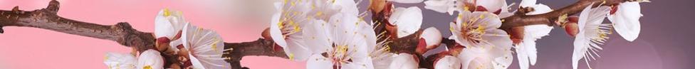 cherry-blossom-background-2691.jpg